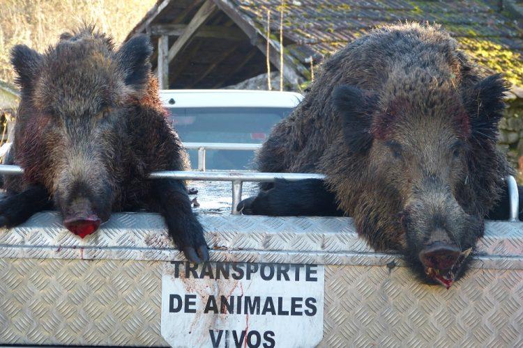 Malestar entre los cazadores por la nueva normativa para analizar a la caza mayor